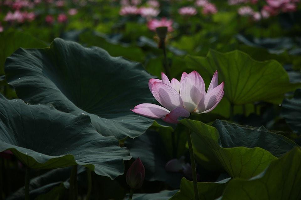 lotus-4312140_960_720